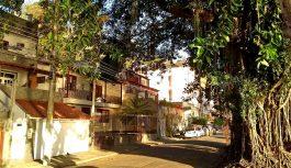 Árvore centenária na Praia da Bica: risco e preocupação para os moradores